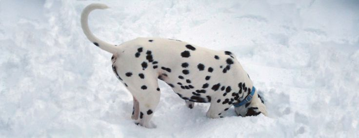 Adopt A Spot Dalmatian Rescue